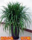 龙须树 多头龙血铁树 室内客厅大型植物盆景 盆栽绿植花卉 吸甲醛