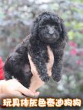 纯种泰迪幼犬出售茶杯棕色灰色泰迪犬超小型玩具迷你贵宾宠物狗狗