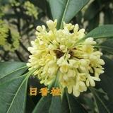 自产自销盆栽百分百正宗日香桂树苗约300天花期桂花苗当年开花苗