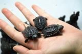中华草龟苗宠物龟水龟乌龟活体墨龟苗活体金线龟 镇宅龟小乌龟 !