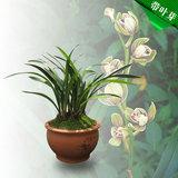 【上新】兰花苗不带花苞建兰金荷 花卉盆栽四季客厅室内观花植物