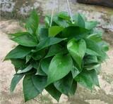 绿萝吊兰 新房吸甲醛除异味电脑防辐射观叶绿植盆栽花卉水培植物