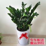 金钱树盆栽 室内大型植物 客厅卧室绿植花卉 上海送货上门
