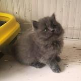 T.M天猫猫舍宠物猫活体纯种可爱英国长毛高地蓝猫小猫幼猫母猫