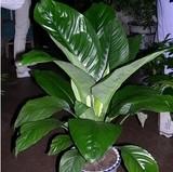 室内客厅办公室大型盆栽绿植花卉观叶植物绿巨人四季常青吸收甲醛