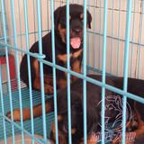 专业cku犬舍罗威纳犬 幼犬出售 纯种罗威纳 上门选购