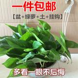 包邮办公室内防辐射植物水培绿萝盆栽花卉吸收甲醛绿植绿萝盆栽