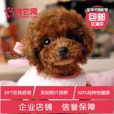 有它网茶杯宠物狗狗灰色红玩具活体泰迪巨型贵宾犬出售纯种幼犬j