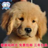 美国血统纯种金毛幼犬狗狗出售 看好了这是真正美系金毛黄金猎犬