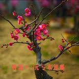 盆栽花卉  庭院 梅花苗 红梅盆景 红梅树苗 树桩花卉一颗就包邮