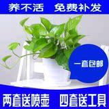 室内盆栽植物绿萝吊兰净化空气吸甲醛新房装修必备水培花卉
