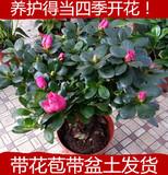 比利时杜鹃花苗四季开花盆栽花卉植物室内客厅阳台绿色植物盆景