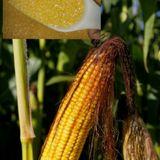 玉米粉包邮。正宗山东玉米渣 玉米糊 纯粹绿色的粗粮食品。500g