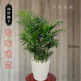 武汉同城 袖珍椰子 大型绿植绿萝盆栽 发财树幸福树客厅室内植物