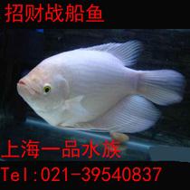 大招财鱼 观赏鱼什么牌子的好 观赏鱼红招财鱼 大招财鱼 高清图片
