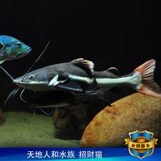 招财猫鱼 狗仔鲸红尾猫鸭嘴鲶鱼 混养底层热带鱼观赏鱼包高清图片