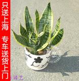 【赠送瓷盆】金边虎皮兰|虎尾兰室内植物盆栽 净化空气吸收甲醛