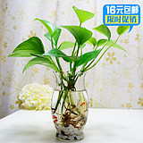 绿萝吊兰小盆栽水培水养植物办公室内盆景桌面绿植防辐射大叶绿萝