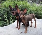 宠物狗狗纯种迷你小鹿犬幼犬出售活体杜宾犬小鹿狗包健康