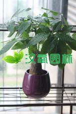 招财树盆栽哪个最好 什么盆栽家里养招财双十一热卖 招财高清图片