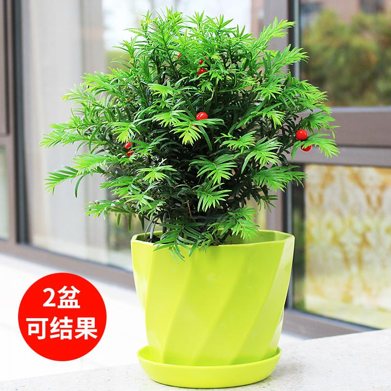 hodo红豆红豆缘专卖店 本店新夏日清新款,盆栽上线