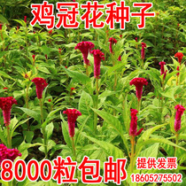 Garden Grass Flower seed Phoenix Chicken chicken bun Flowers Old Red Four seasons sowing small head chicken crown