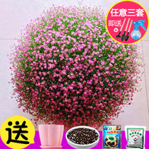 Starry seed potted flowers Four Seasons easy to live flowering continuous indoor flower seed seed plant flower seed