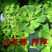 Water Fuqi Fuping Aquatic Plants Watercai Water Cabbage River Pond Purification Water Quality Base Direct Sales