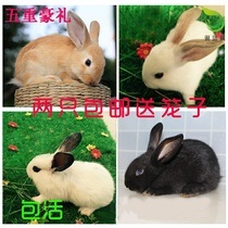 Rabbit living midget mini White wild black lop pet hairy rabbit live baby panda princess live