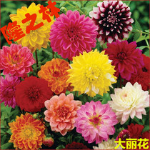 Dahlia seeds double petals perennial roots sweet potato Flower Four Seasons sun flower outdoor plant potted flower seeds