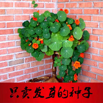 Nasturtium seeds dry lotus seeds golden lotus seeds dry lotus seeds four seasons landscape flowers flowers flowers seeds