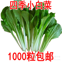Overflow aromatic seed industry to sell balcony courtyard families can sow the Four Seasons cabbage seeds vegetable seeds