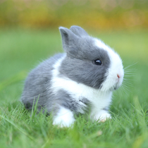 Grow mini rabbit living creature male female Lop rabbit Dutch rabbit rabbit dwarf rabbit living pet Princess Cup rabbit