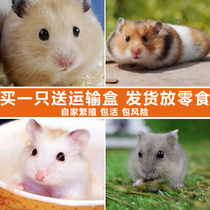 Hamster live baby Golden Bear pet silver fox purple warehouse three line pudding hamster cub a couple of small pets