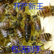 In the living bee swarm queen bee queen bee swarm of bees 2017 new king spawning King Virgin King Lao Wang bao live to hand