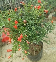 Japanese green leaves pomegranate tree view of flowers view fruit bonsai four seasons pomegranate red flower pomegranate with fruit potted fruit trees