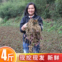 Houttuynia cordata fresh ear root Guizhou native wild folded two salad wild fish star grass can be planted 4 pounds