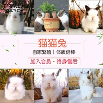 Purebred Dodge Phoenix Angola cover face cat cat rabbit long burst hair small dwarf Ling rabbit pet rabbit live