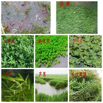 Fish pond water grass seed water peanut elodea bitter grass crayfish crabs breeding special water grass seed four seasons w