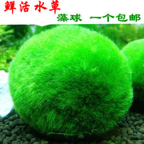 Live real water aquarium aquarium decorative landscaping package Moss happiness algae ball moss shrimp nest natural vegetation