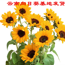 Sunflower flower hair Yunnan base straight monthly sun flower rose a tie 10 with the City Express