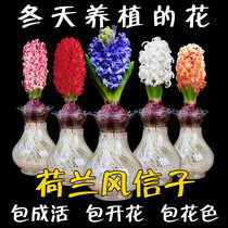 Hyacinth Bulbs Big Ball hydroponic set Four seasons indoor water flowers potted table easy to live seed flower plants